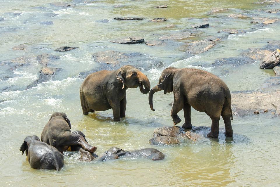 Elephant General Info
