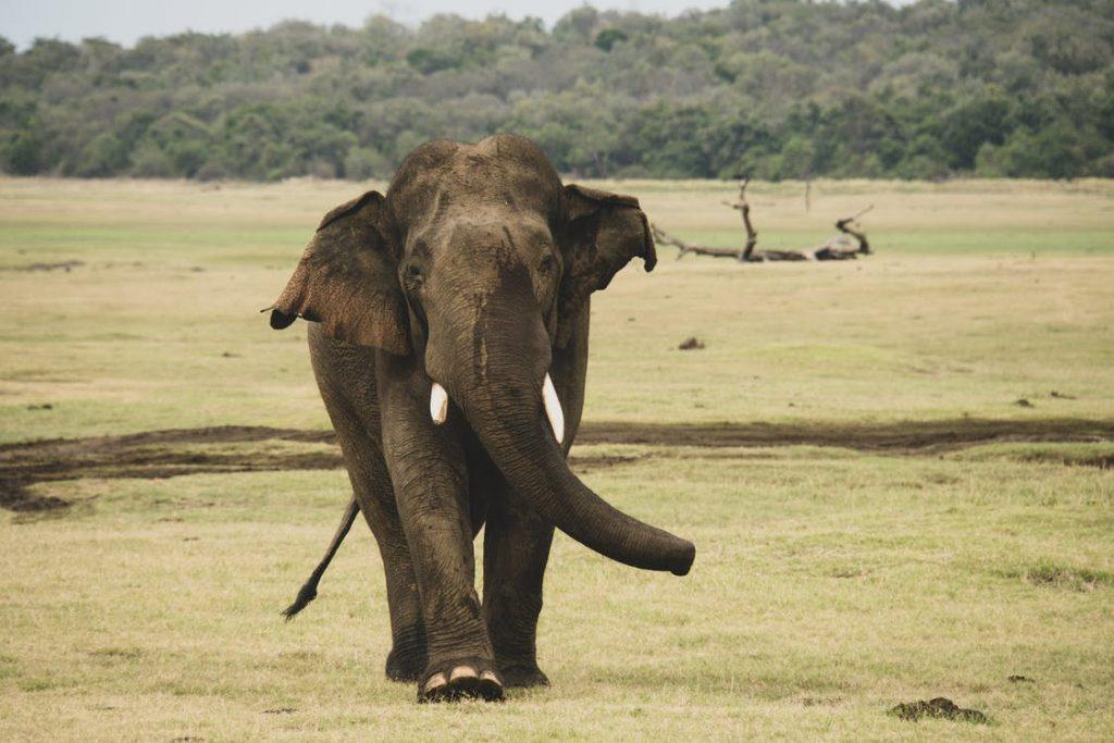 Elephant General Info 2