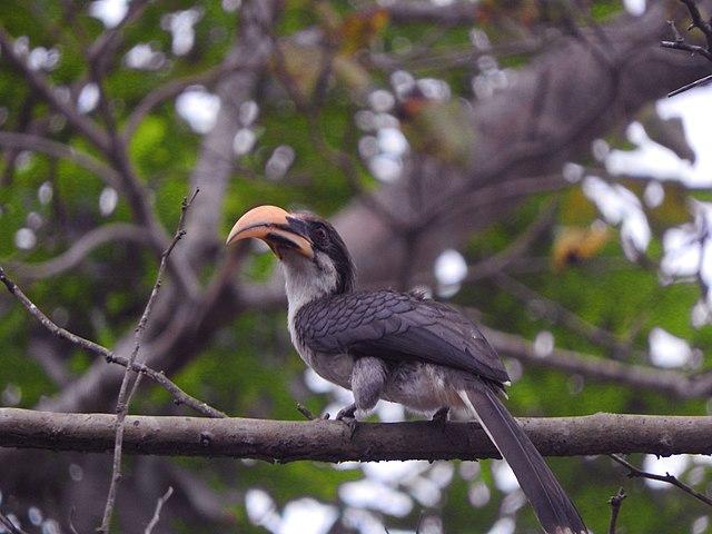 Sri_Lanka_gray_hornbill