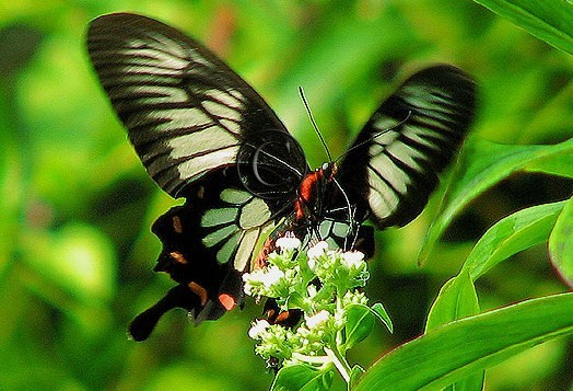 Butterflies-Ceylon-rose