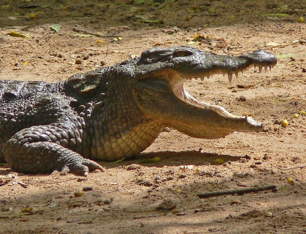 Mugger-crocodile- sri lanka