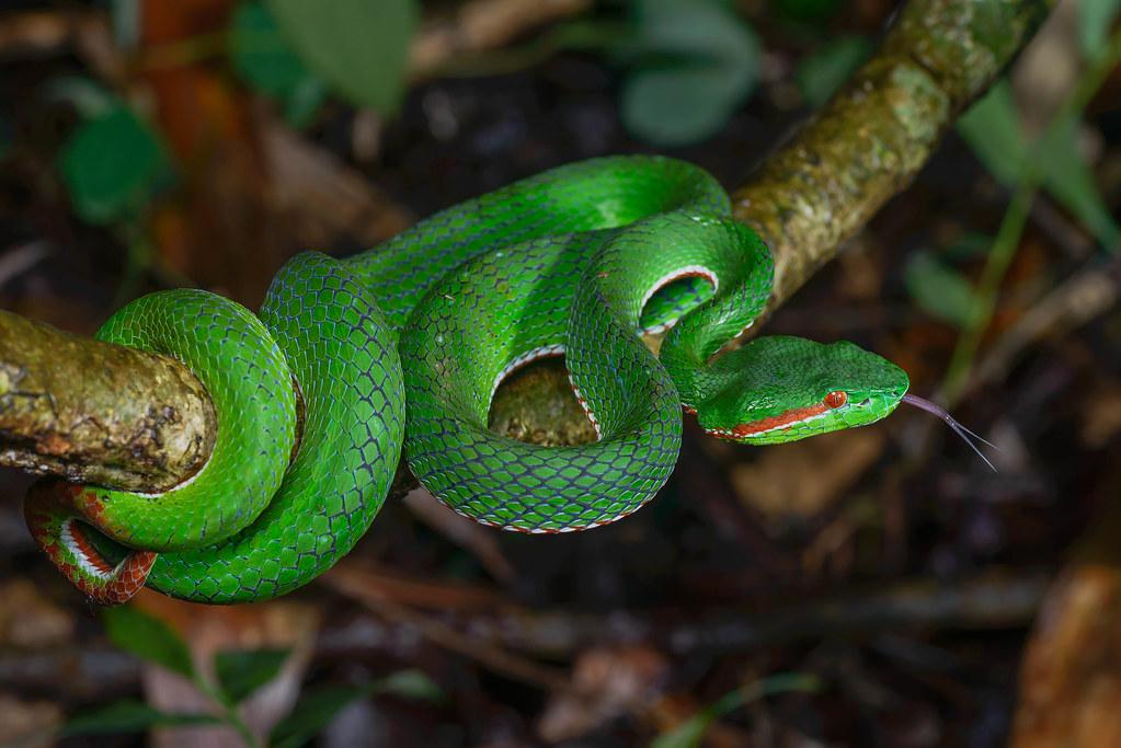 Sri_Lankan_Green_Pit_Viper