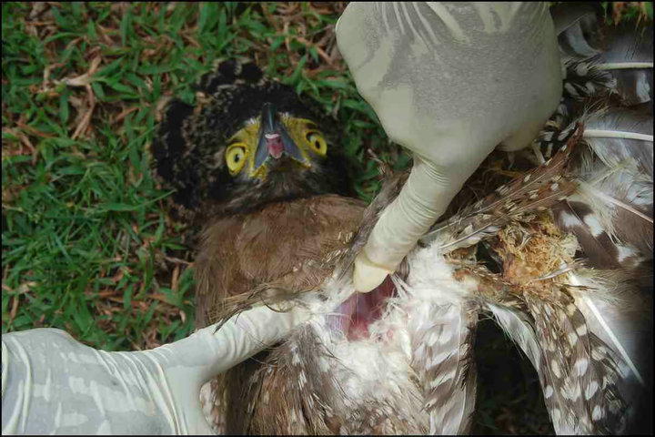 Treating Bird-an-injury