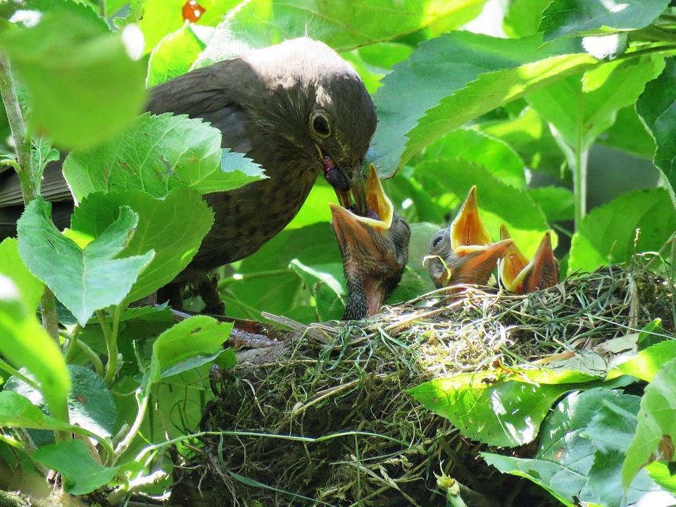blackbird birds breeding