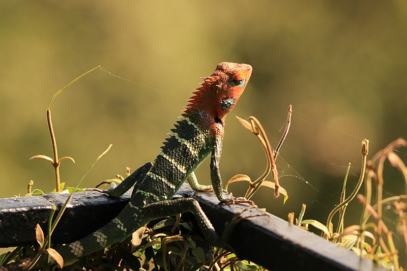 reptiles-sri-lanka