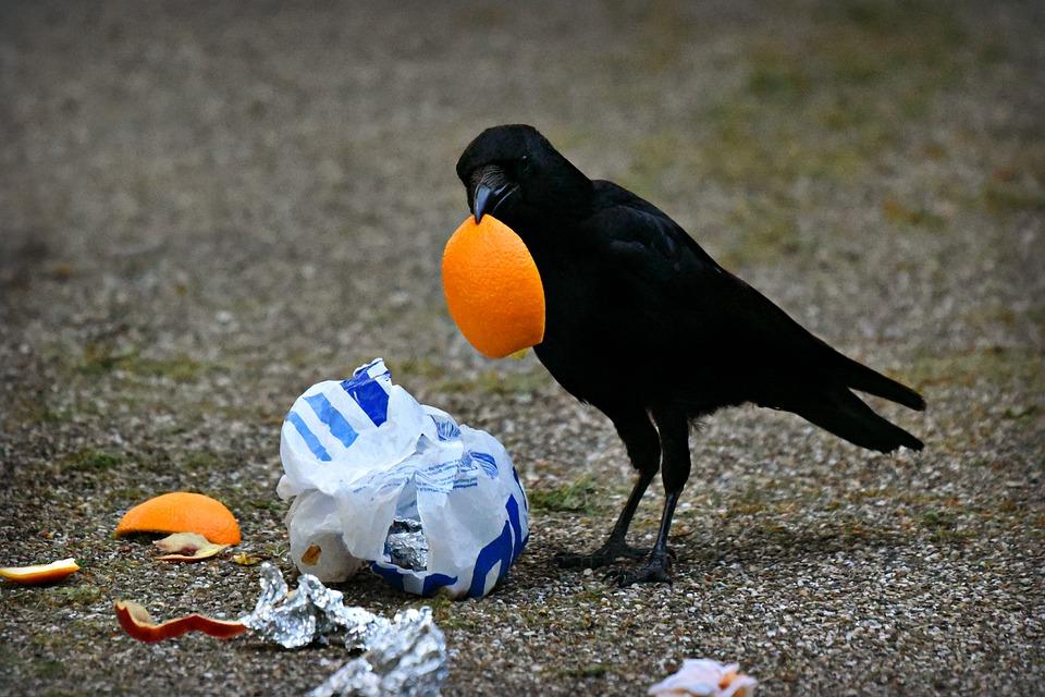 crow-eating-food-waste-dump-on-road